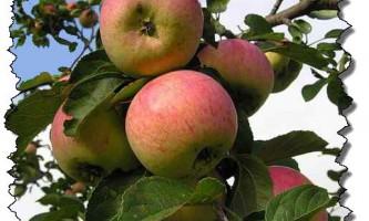 Сорт яблуні - анісівка