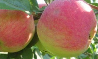 Сорт яблуні «цукеркової» - вирощуємо яблука для ласунів