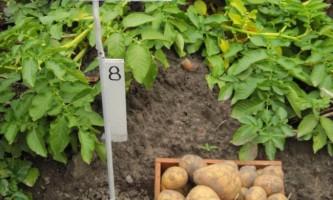 Сорт картоплі «гала»