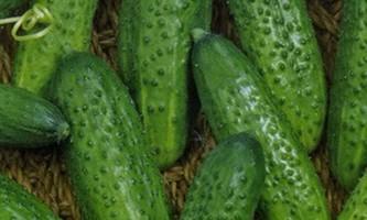 Сорт огірка: еліза f1