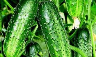 Сорт огірків: шик f1