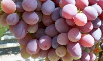 Сорт винограду «отаман»