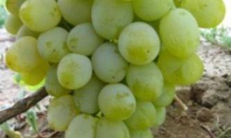 """Сорт винограду """"гарольд"""""""