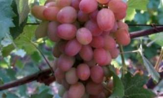 """Сорт винограду """"геліос"""""""