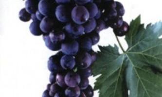Сорт винограду «кардинал»