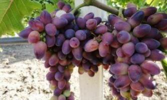 Сорт винограду «красуня»