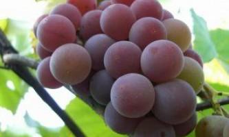 Сорт винограду «лидия»