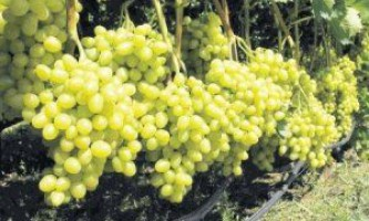 Сорт винограду «лора»