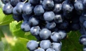 Сорт винограду «молдова»
