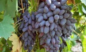 Сорт винограду «пам`яті негруля»