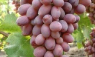 Сорт винограду «різамат»