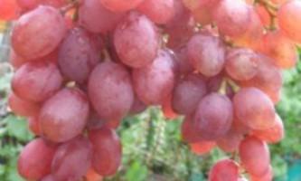 """Сорт винограду """"румба"""""""