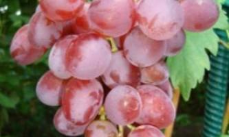 Сорт винограду «вікторія»