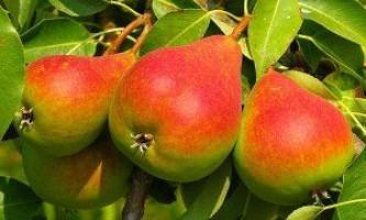 Сорти груші для сибіру: опис, переваги, недоліки, особливості посадки і догляду
