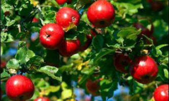 Сорти яблунь для підмосков`я
