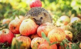 Сорти яблунь для середньої смуги - медове сонячне чудо