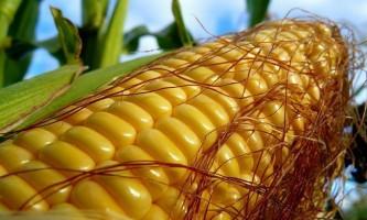 Сорти кукурудзи