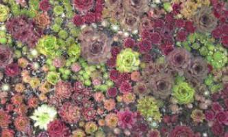 Сорти молодила: різноманітність кам`яних троянд для дачного декору
