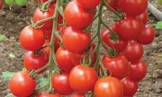 Сорти томатів для теплиці