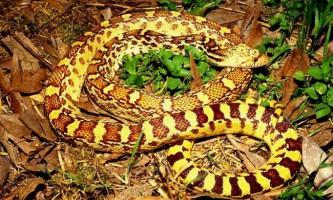 Соснові змії - великі представники ужеобразних