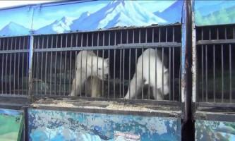 Відбувся дебют російських білих ведмедів в бразильському зоопарку