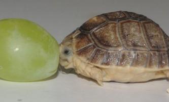 В англійському зоопарку оселилася черепаха розміром з виноградину