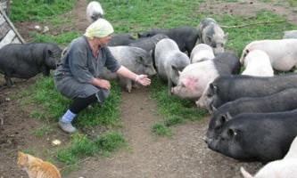 Поради по домашньому розведення свиней