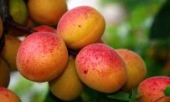 Поради по осінній посадці абрикоса