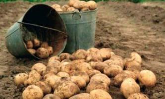 Поради посадки картоплі під зиму