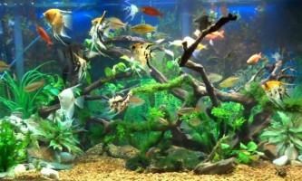 Сумісність рибок в одному акваріумі