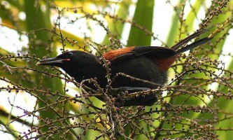 Створення `` мовного діалекту `` у птахів займає 50 років