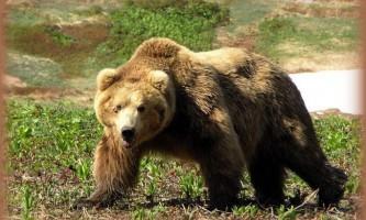 Рятуючись від ведмедя, співробітник гибдд застрелив брата