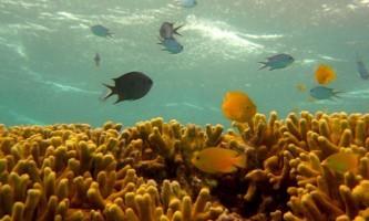 Рятуючись від нападу, тропічні рибки закликають на допомогу інших хижаків