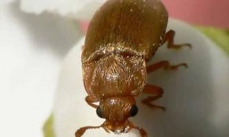 Врятуємо малину від малинового жука