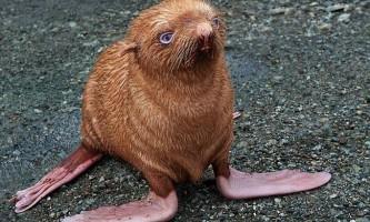 Врятовано рудий тюлень з блакитними очима