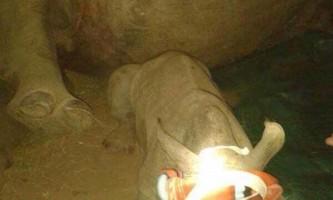 Порятунок герті: маленький носоріг залишився без мами