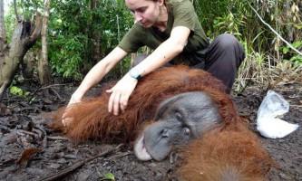 Порятунок орангутана, знесиленого від голоду