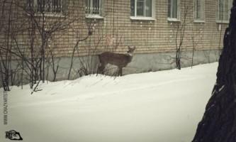 Порятунок пораненої косулі в ярославському дворі