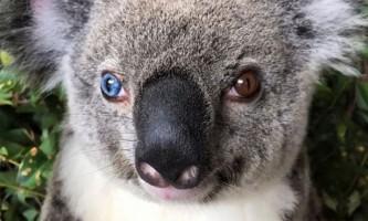 Врятоване на дорозі коалу з різними очима назвали на честь девіда боуї