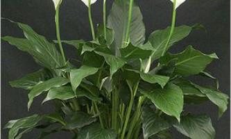 Спатіффілум не цвіте, у нього жовтіють листя та інші проблеми при вирощуванні рослини