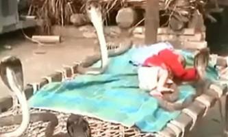Сплячого немовляти охороняють чотири кобри