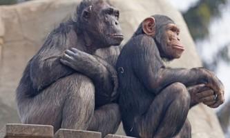 Здатність шимпанзе до взаємодопомоги виявилася вище передбачуваної