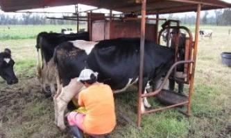 Способи доїння корів: ручний, автоматичний
