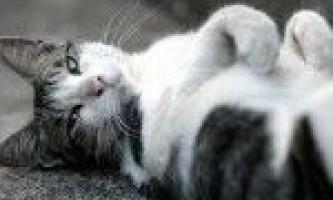 Способи лікування і причини проносу у кішок