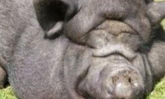 Способи відгодівлі свиней