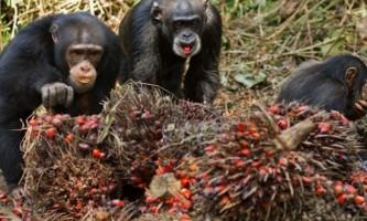 Серед диких мавп виявили алкоголіків