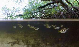 Серед прісноводних риб бризкуни виявилися пильними