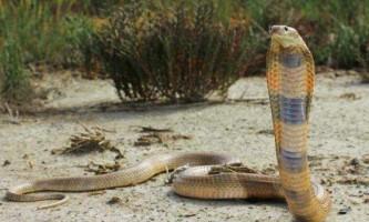 Середньоазіатська кобра - агресивна змія