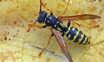 Засоби позбавлення від ос: чого бояться комахи з жалом?