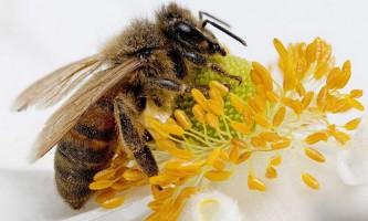 Стадії життя медоносних бджіл